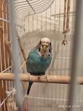 Волнистые попугаи - девочка