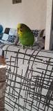 Попугай волнистый ручной