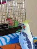 Попугаи разные от 1 мес.