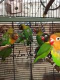 Птенцы неразлучника