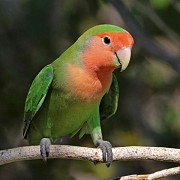 Попугаи неразлучник ( самец)