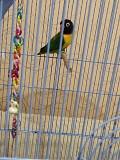 Попугай неразлучник (с клеткой, игрушками или без)