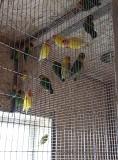 Попугаи Неразлучники (масковые)