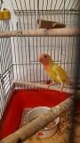 Попугай неразлучник лютино мальчик 4 месяца