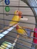 Попугаи неразлучники розовощекие лютино