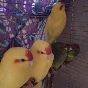 попугаи КАКАРИКИ
