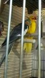 Какарик самец , новозеландский прыгающий попугай