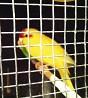 Самец попугая какарик
