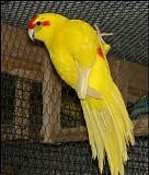 попугай ручной какарики