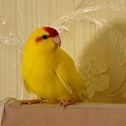 продаю попугай какарики