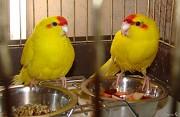 попугай какарики молодежь