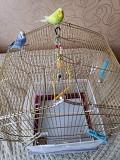 2 ручных волнистых попугая с большой клеткой.
