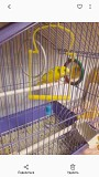 Волнистый попугай девочка. Клетка в подарок.