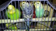 Продаю волнистых попугаев