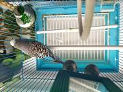 Волнистый попугай девочка 3х лет