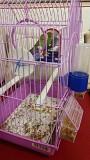 2 разнополых волнистых попугайчика
