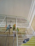 Волнистые птенчики