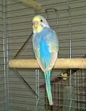 Радужный волнистый попугай самец
