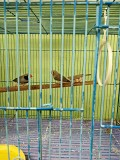 Птички амадины