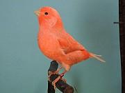 оранжевый с выставки - кенар