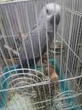 Краснохвостый попугай жако