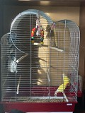 Попугаи неразлучники пара