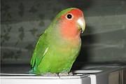 Попугай - неразлучник