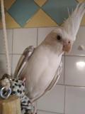 Ручной, говорящий попугай корелла + отд. клетка