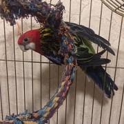 Попугай Розелла (птенец)