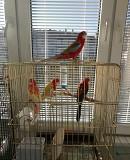 Попугаи породы розелла