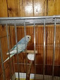 Девочка волнистого попугайчика