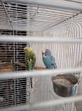 Продам парочку волнистых попугаев