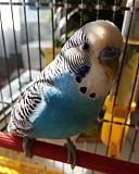 Попугаи (Волнистые)