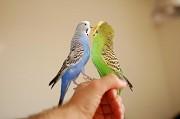волнистый попугайчик.