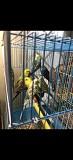 Продаются птенцы Волнистого попугая