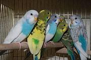 Продаются Молодые Волнистые Попугайчики