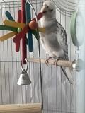 Белощёкий птенец попугая корелла