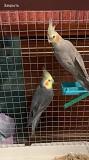 Пара попугаи корелла