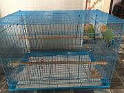 Попугай неразлучники