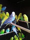 Птенцы попугав для обучения и взрослые
