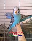 Волнистый попугай птенец самка