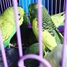 Волнистый попугай и Чех