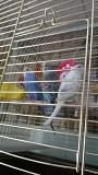 Самец волнистый попугай с клеткой