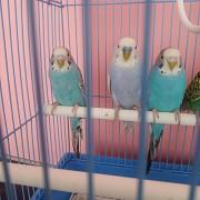 Птенцы волнистых попугаев, питомник