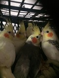 Корелла птенцы