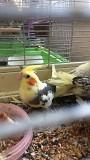 Корелла птенцы ручные