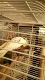 Корелла птенец попугай самец с клеткой