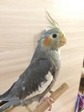 Птенцы попугая корелла цена за одного