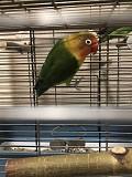 Попугай неразлучник Фишера (забронирован)
