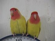 Птенецы желтые неразлучники